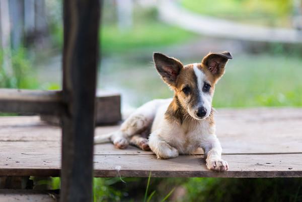 Village Puppy