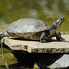 TURTLES and TORTISES 12
