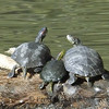 TURTLES and TORTISES  14