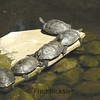 Turtles at the Tucker Sanctuary