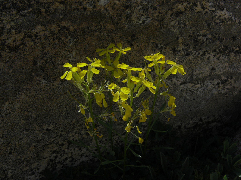 I believe this to be Sierra Wallflower. It certainly looks photogenic against the wall of rock...