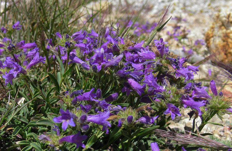 "Thanks once again to my friend ""AmanitaM"" at the DpReview Panasonic forum for IDing these as a type of Penstemon called ""Sierra Beardtongue"". I find them growing tenaciously amongst the rocks, water and ice at over 11,000 feet."