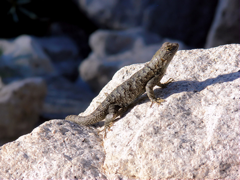 "It's just before 8am so the lizards are out on the rocks warming themselves. Most are too absorbed, er, absorbing heat to scurry away when I walk past. This one let me stick my lens nearly in its face. Taking pics ""on the fly"" is no mean trick when you're toting a 40-pound backpack."