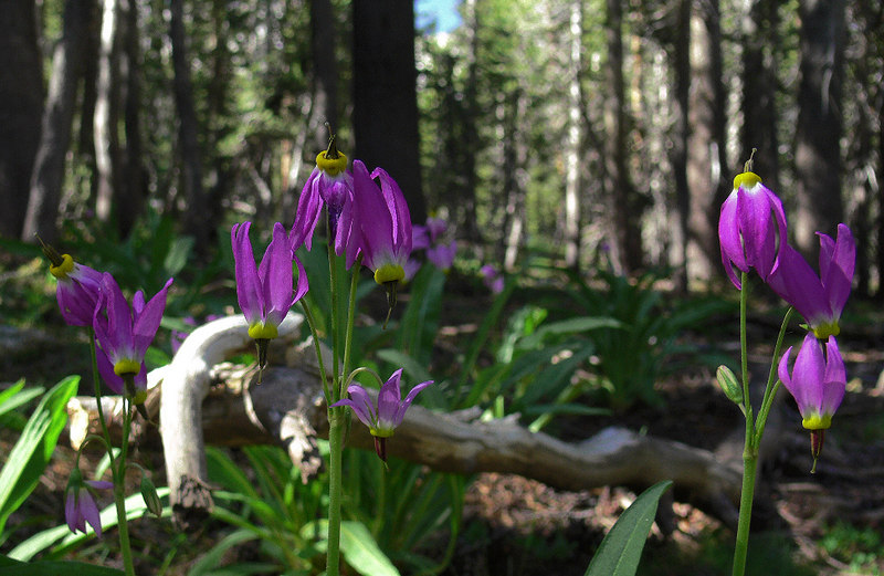 While on the Bench Lake spur trail I come across a forest garden of Shooting Star...