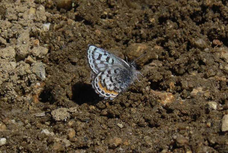 AmanitaM also positively ID'd this to be a Western Square-dotted Blue Butterfly, with a wingspan of 11/16 - 13/16 inches. Its habitat includes alpine rock gardens, which is exactly where I found it.