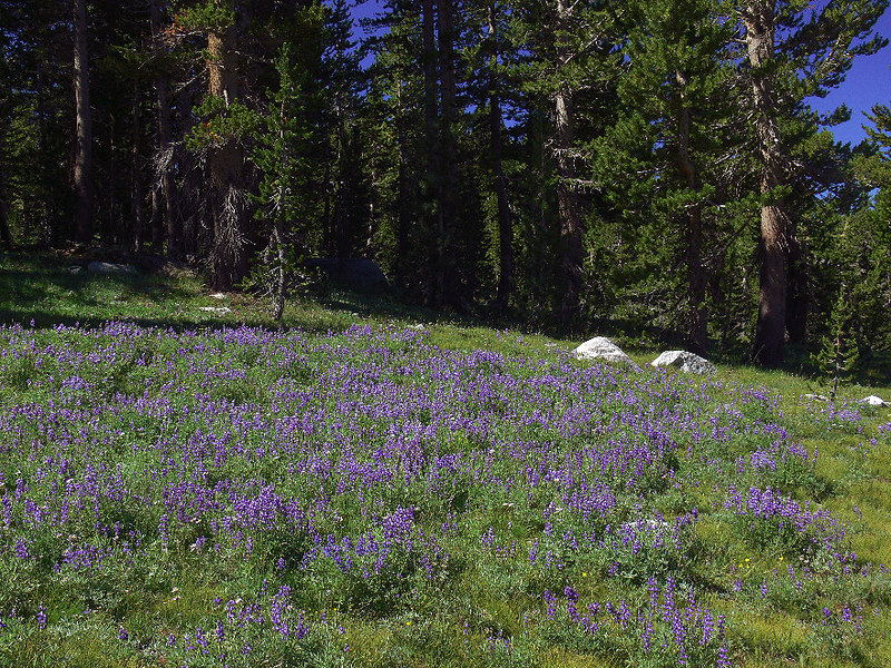 ...and a field full of Lupine.