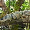 A very large iguana