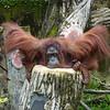 orangutan, hiding its chin waddles