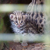 Leopard cat kitten- could it get any cuter than this?