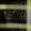 Leopard cat kitten.
