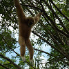 gibbon, one of many swinging from branch to flexible branch, down to the ground to pick up a piece of fruit, then springing up again into the trees