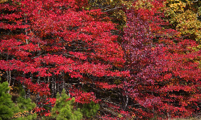 Talimina Scenic Drive.  Red leaved trees along the drive.
