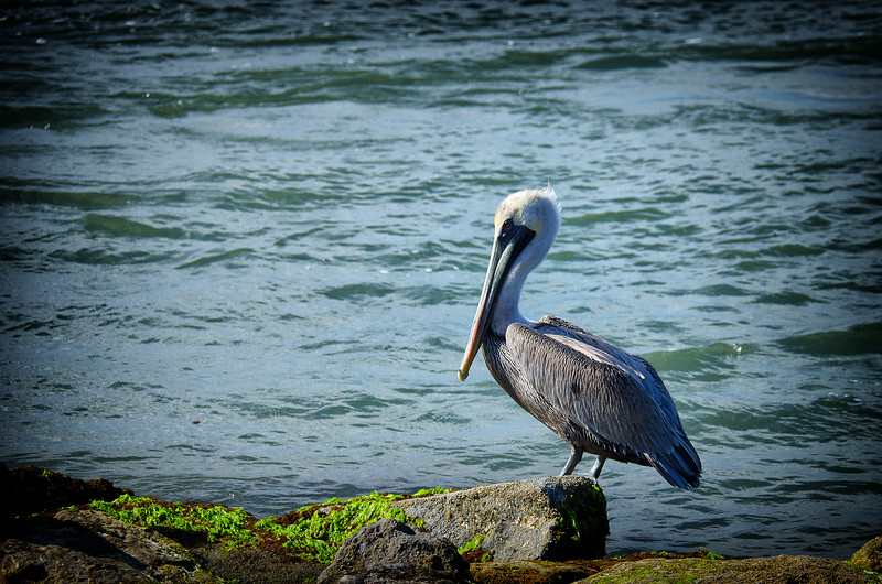Brown Pelican at Sebastian Inlet