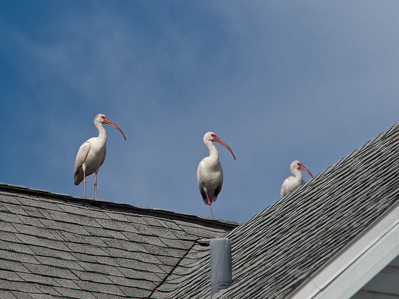Ibis on the Roof!