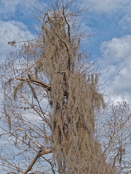 Spanish Moss Covered Tree at Weeki Wachee Springs
