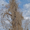 Spanish Moss Covered Tree at Weeki Wachee Springs