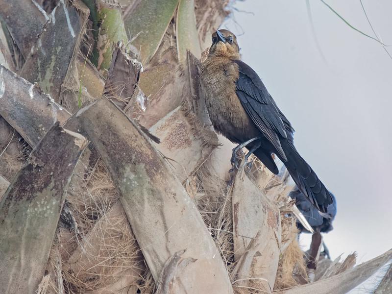 Brown-headed Cowbird near Weeki Wachee River