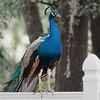 Peafowl at Weeki Wachee Springs