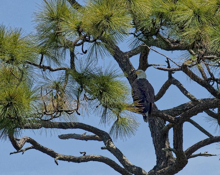 Anclote River Eagle