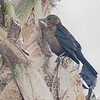 Brown-headed Cowbird near Weeki Wachee River