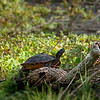 Florida Red-Bellied Cooter