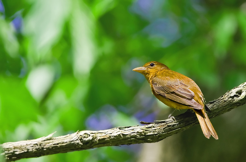 Summer Tanager ( female )