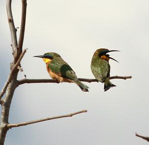 Little Bee-eater  Mkomozi NP Tanzania 2014 07 02-3.JPG