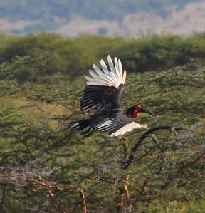 Ground Hornbill Mikomazi NP Tanzania 2014 06 30.JPG