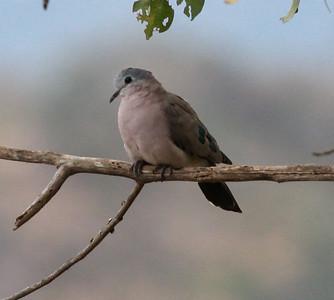 Emerald-spotted Wood Dove  Mkomazi NP Tanzania 2014 06 30.JPG