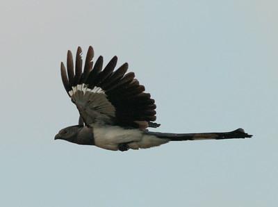 White-bellied Go-away Birds  Mkomazi 2014 07 01.JPG