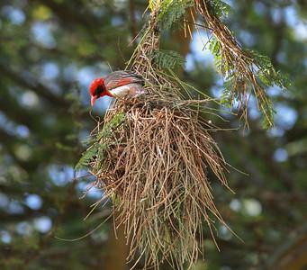 Red-headed Weaver Lake Duluti Arusha Tanzania 2014 06 29.JPG
