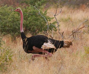 Ostrich  Mkomazi National Park Tanzania  2014 07 02.JPG