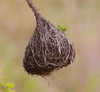 Golden Weaver nest  Mkomazi NP Tanzania 2014 06 07 01.JPG
