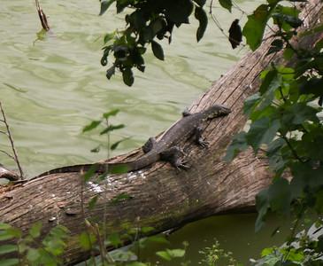 Moniter Lizard  Lake Duluti Arusha Tanzania 2014 06 29.JPG