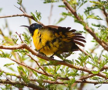 Variable Sunbird  Mkomazi NP Tanzania 2014 06 30.JPG