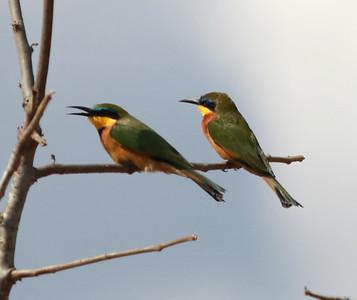 Little Bee-eater  Mkomazi NP Tanzania 2014 07 02.JPG