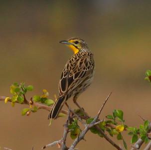 Yellow-throated LongclawMkomazi NP Tanzania 2014 07 01.JPG