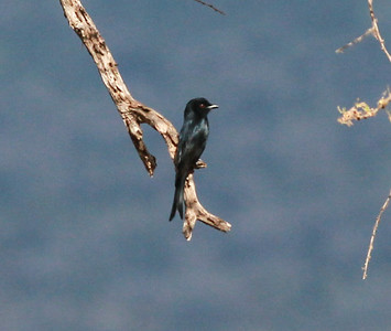 Fork-tailed Drongo  Mkomazi NP Tanzania 2014 06 30.JPG