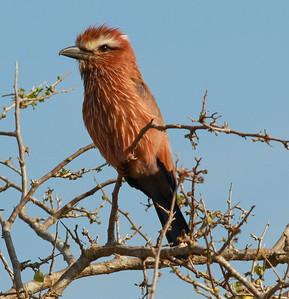 Rufous-crowned Roller Mkomazi NP Tanzania 2014 07 01 (1 of 2).JPG
