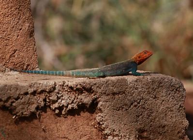Lizard  Mkomazi NP Tanzania 2014 06 30.JPG