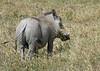 warthog. ngorongoro crater