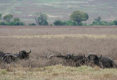 buffalo. ngorongoro crater