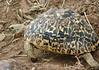 tortoise. serengeti