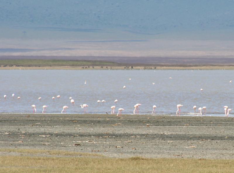 flamingos. ngorongoro crater