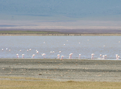 flamingos. ngorongoro crater