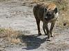 hyena. ngorongoro crater