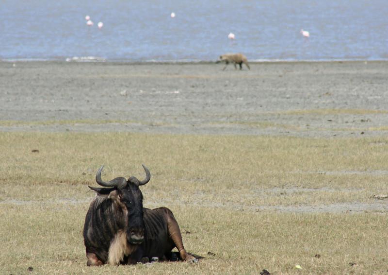 wildebeest, hyena, flamingos. ngorongoro crater