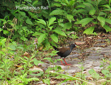 At a marsh in Vilcabamba,  this rail elected to come out on the trail on his own. First found in Ecuador here in 1991.