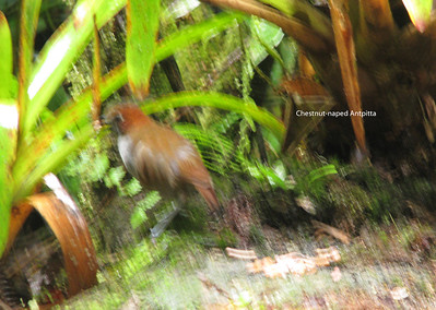 The Chestnut-naped Antpitta occurs from Colombia to N Peru.