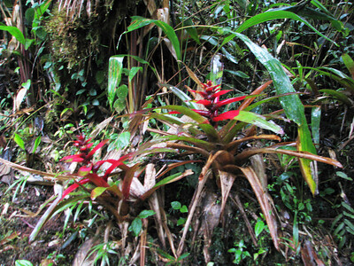 Bromeliads along the trail.